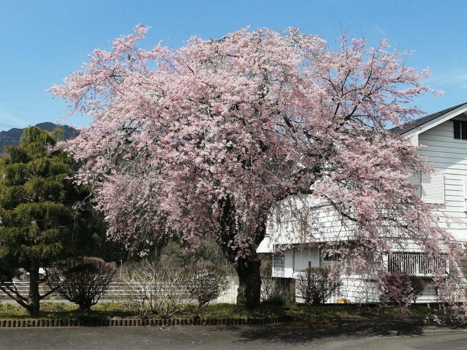 地区センターの桜