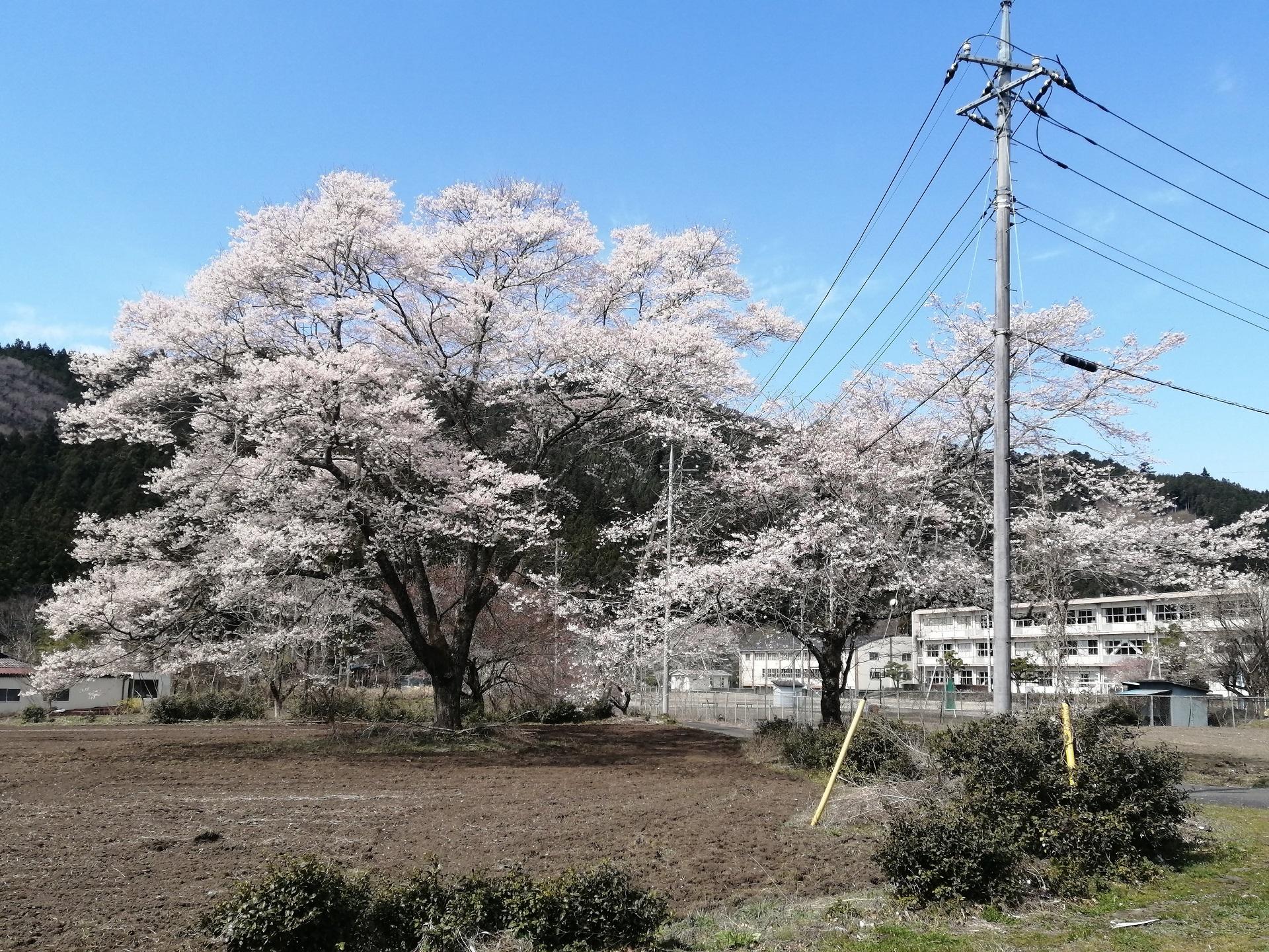 ふれあいの郷裏手の桜