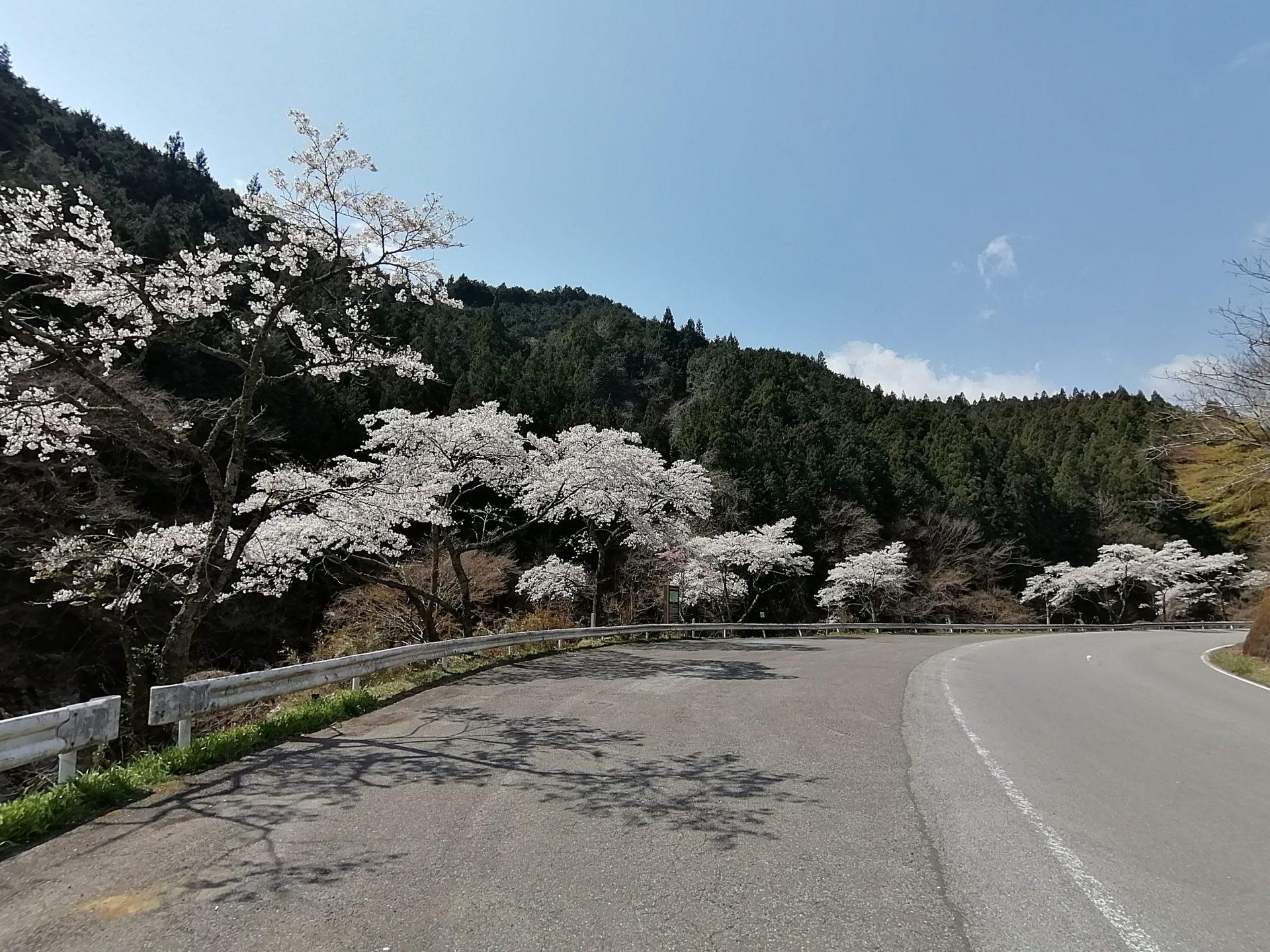 山中の桜並木2