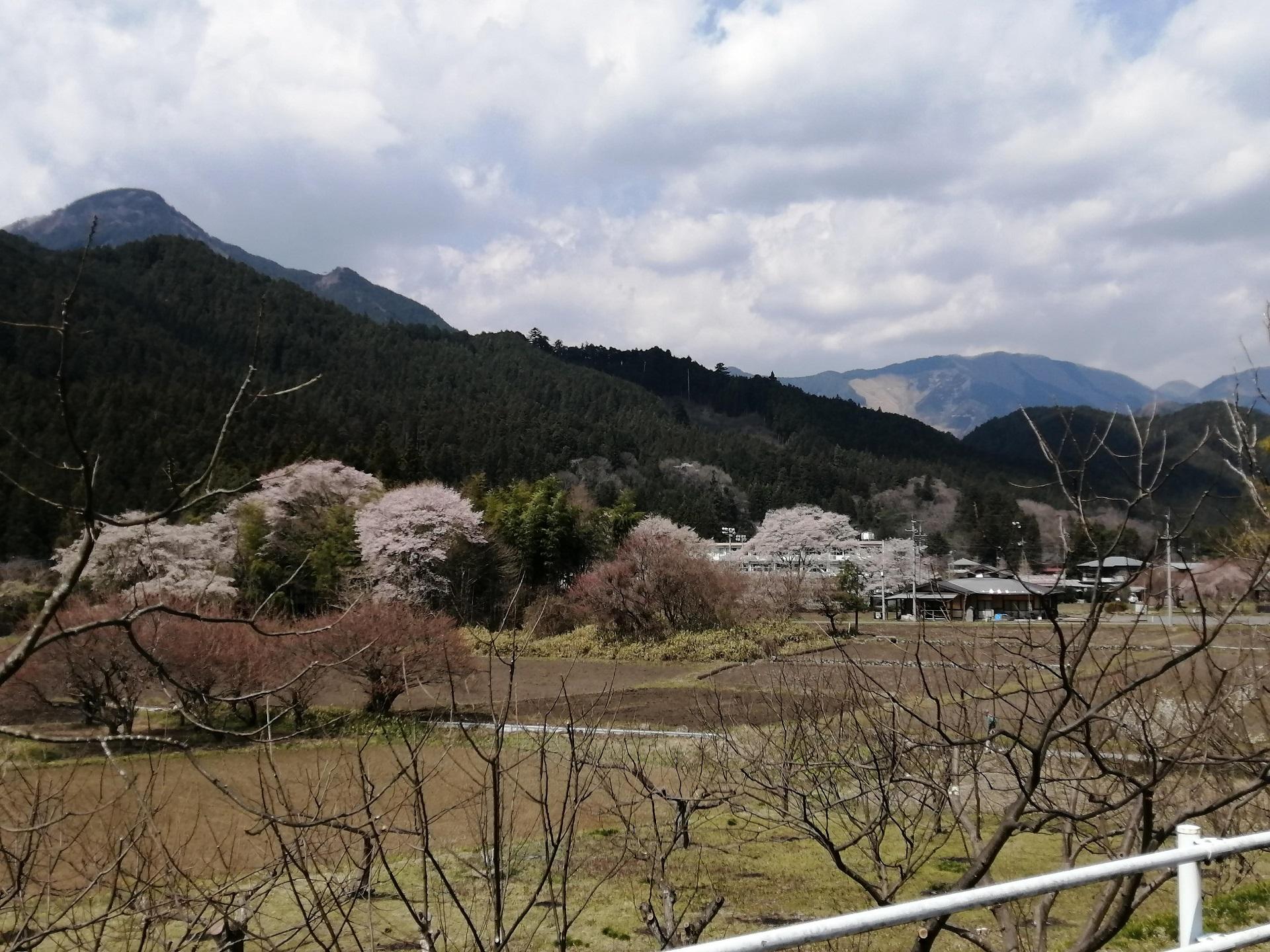 ふれあいの郷周辺の桜