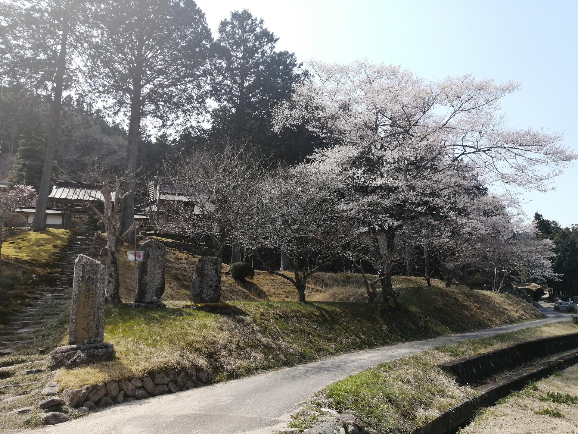 円光寺の桜